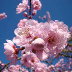 """Floral Spring art Pink Flower Blossoms Trees"" by BasleeTroutman"