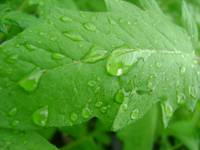 The rain on green leafs