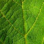 """Vine Leaf"" by JamesHurley"