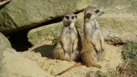 Pair of Meercats