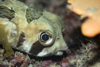 Tropical fish Porcupinefish