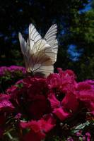 butterflies flower