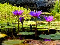 Violet Water Lilies 2