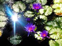 Violet Water Lilies 4