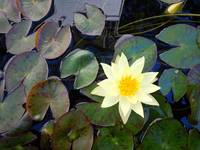 White Lotus/Water Lily with Lily Pads