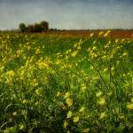 """the yellow field"" by phototarget"