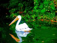 Pelican in Louisiana Bayou 2