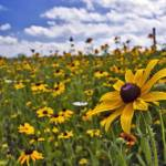 """""""A Field of Wild Daisies in the Warm Summer Sun"""" by jgraber"""