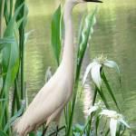 """White Egret in Brooker Creek"" by spadecaller"