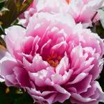 """Pink Peony Flower"" by johncorney"