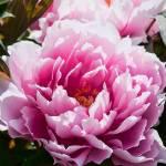 """Pink Peony Flower"" by johncorney"