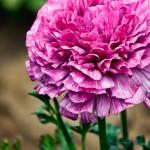 """Pink Ruffles Ranunculus"" by johncorney"