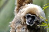 Gibbon Portrait