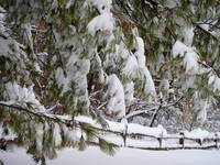 Trees bend under burden of blizzard