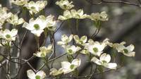White flowering tree branch