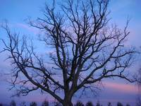 Tree in nightfall