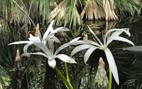 Wild Swamp Lilies of Florida