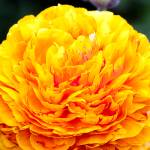 """Gold Ranunculus"" by johncorney"