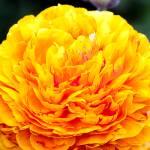 """Gold Ranunculus"" by johncorney"