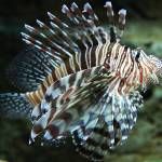 """Lionfish, Atlanta Aquarium"" by janemcdougall"