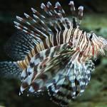 """Lionfish, Atlanta Aquarium"" by janemcdougall"