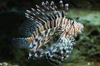 Lionfish, Atlanta Aquarium
