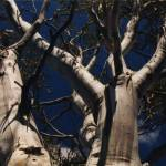 """Silvery Eucalypt"" by janemcdougall"