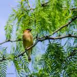 """Cedar Waxwing"" by awsheffield"