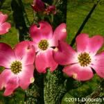"""Pink Dogwoods 1"" by DeborahWillardDesign"