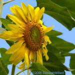 """sunflower power"" by DeborahWillardDesign"