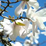 """Floral art White Magnolia Tree Flowers Blue Sky"" by BasleeTroutman"