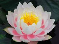 Enhanced Lotus