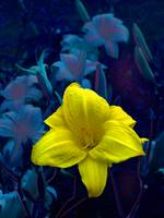 Day Lily In Blue Night
