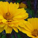 """Coreopsis"" by eGiclee"