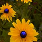"""Blue Eyed Susan"" by eGiclee"