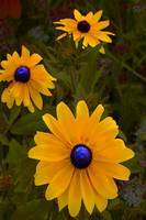 Blue Eyed Susan