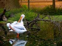 Pelican Pair in Bayou 2