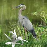 """Great Blue Heron at Brooker Creek"" by spadecaller"