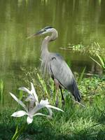 Great Blue Heron at Brooker Creek