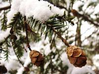 Pine cones in snow