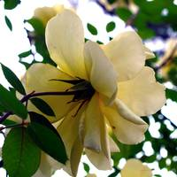 My Yellow Roses #4 Photography by Ginette