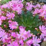 """Floral - Lewisia Cotyledon Macro - Garden Flower"" by artsandi"