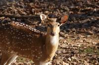 Spotted Deer Portrait