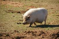 White Pot Belly Pig