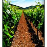 """Napa Rows of Grapes"" by jbjoani2"