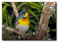 Northern Parula 1 of 2