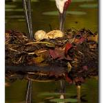 """Sandhill Crane Nest #3 Reflection"" by scott2403"