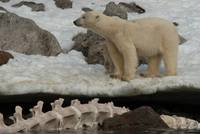 Mother and cub at Holmiabukta, Svalbard