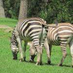 """Zebras"" by kimberlyfdr"