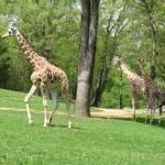 """Giraffes"" by kimberlyfdr"